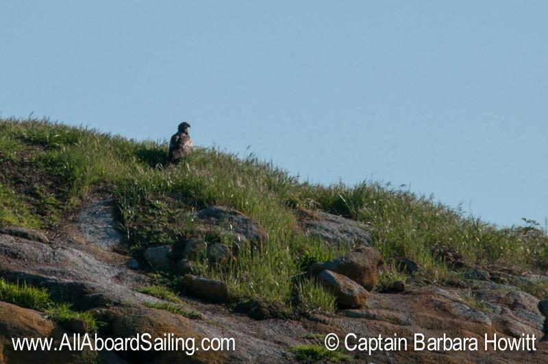 Juvenile bald eagle on Bare Island