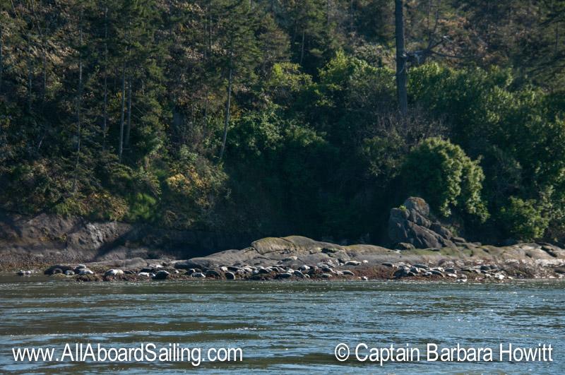 Many harbor seals Skipjack Island