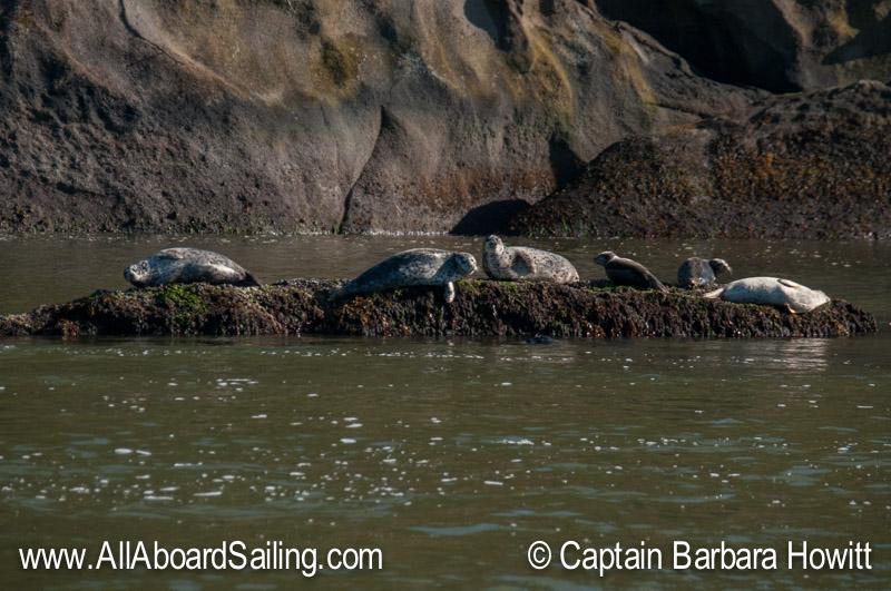 Harbor seals sun-tanning