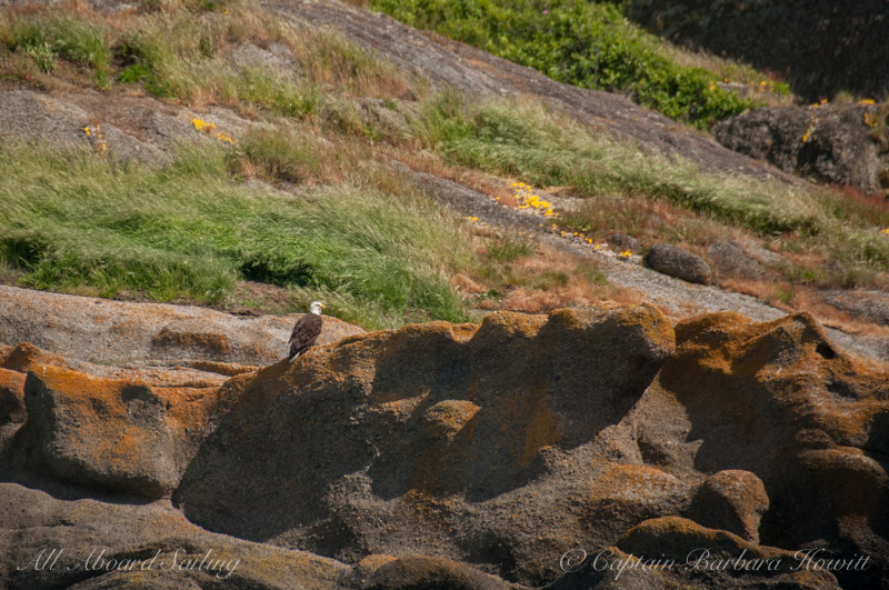 Bald eagle, honeycomb sandstone and wildflowers