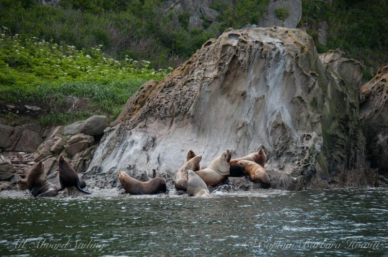 Steller sea lions on Sucia