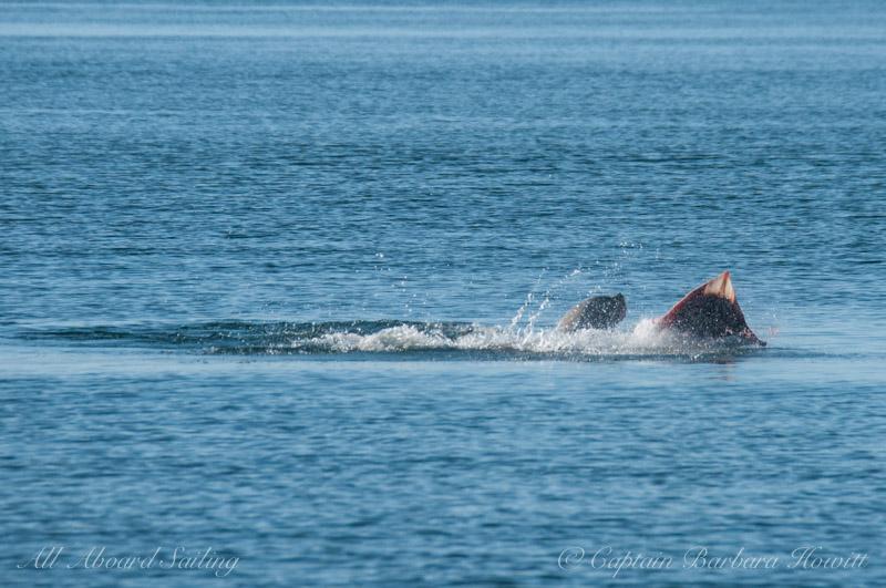 Sea lion with a big Big Skate