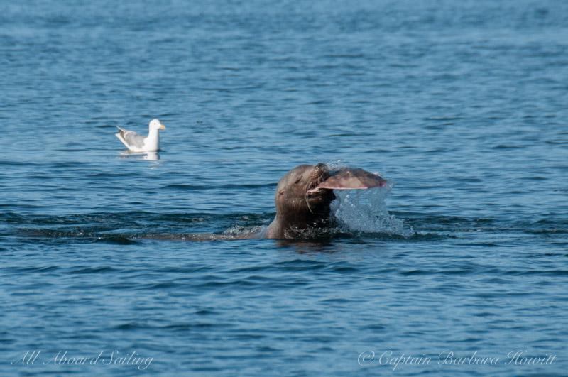 Sea Lion with Big Skate