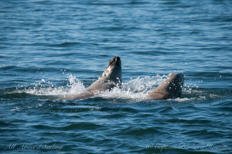 Steller sea lions shaking off in the water
