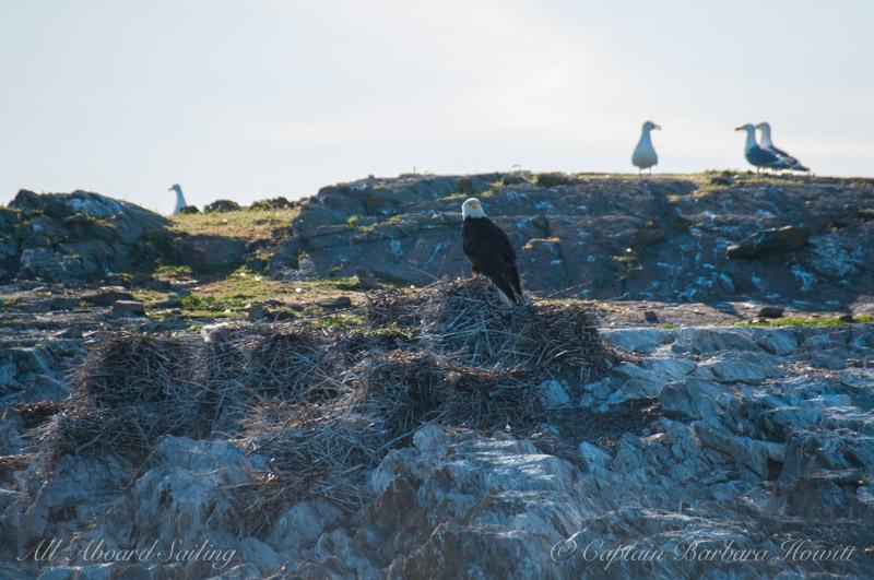 Bald eagle on Cormorant nest