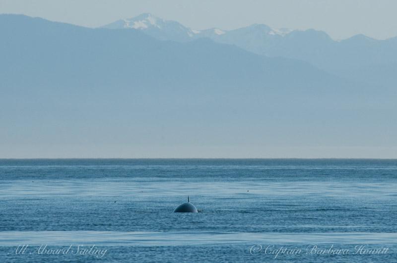 Minke whale coming toward us