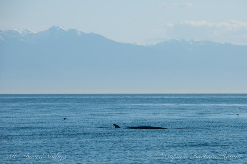 Minke whale foraging at Salmon Bank