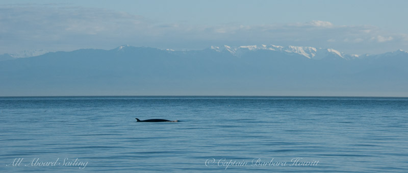 Minke whale with Olympic Mountains