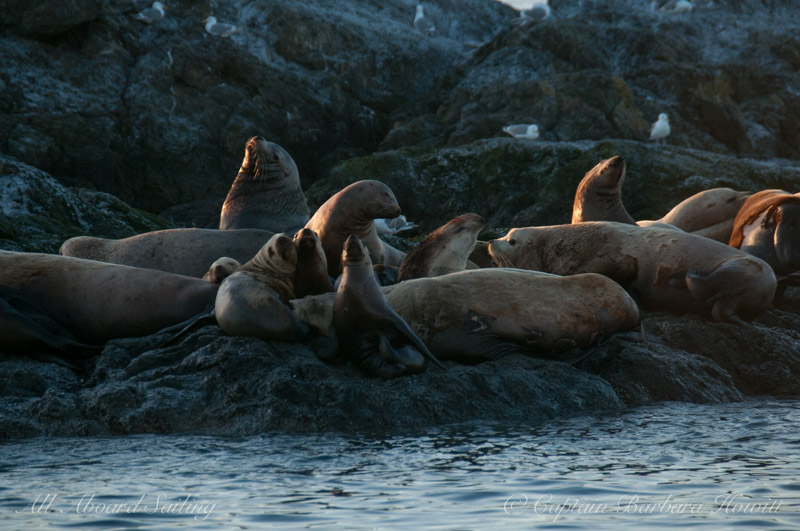 Sea lions hauled out