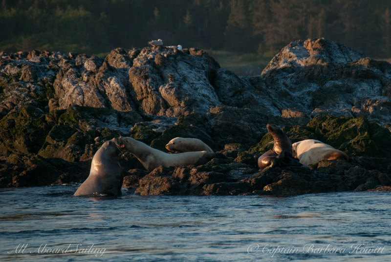 Steller sea lions fighting