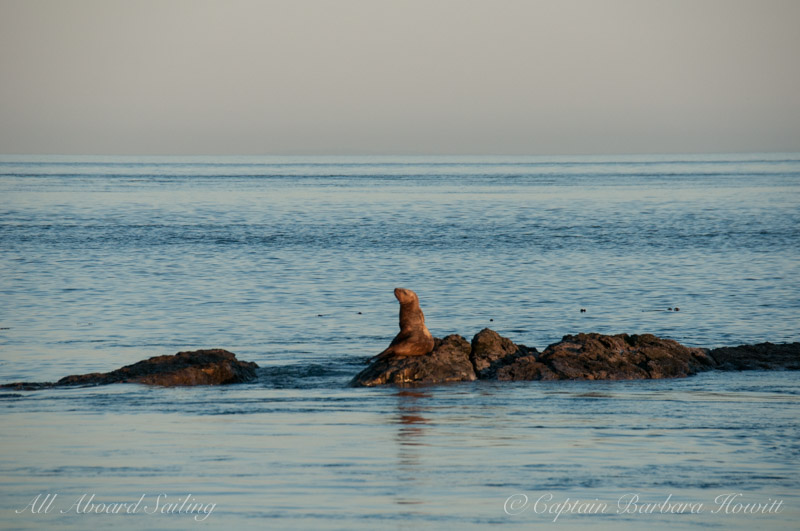 A small steller sea lion