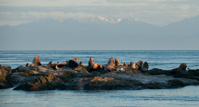 Steller sea lions on Whale Rocks with Olympic Mountains in the distance