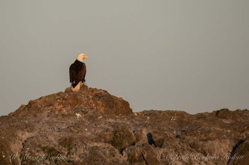 Bald eagle lit by the sunset