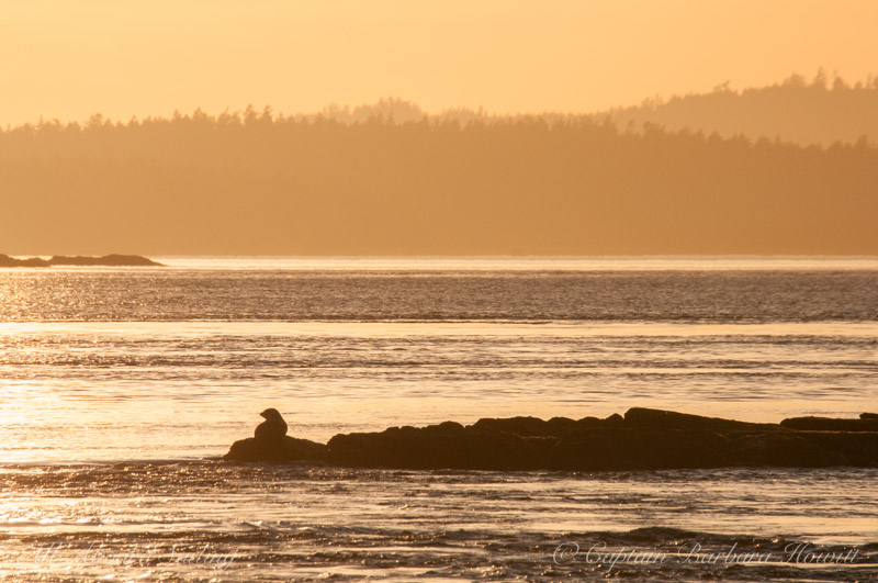 Harbor seal in the setting sun