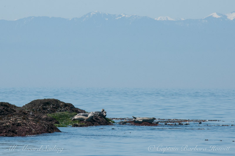Harbor Seals and Olympic Mountains