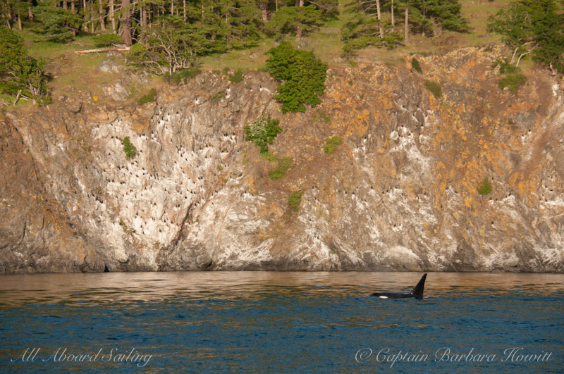 Orca passing Kellett Bluff