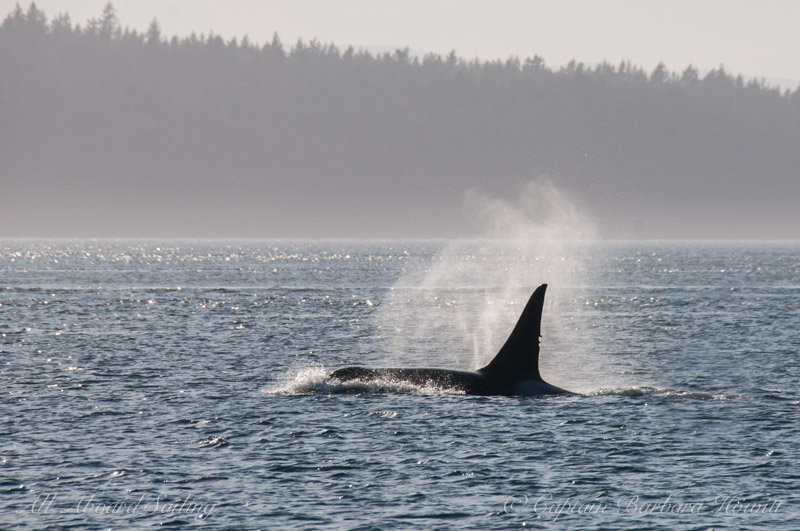 T77A - a male orca born 1996