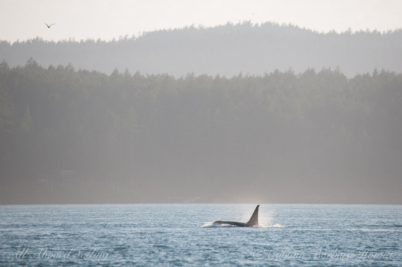 T87 - a male orca with an estimated birth year of 1962