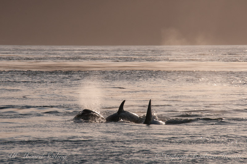 Orcas traveling in tight group
