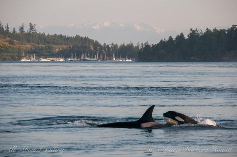 Orcas passing Shipyard Cove