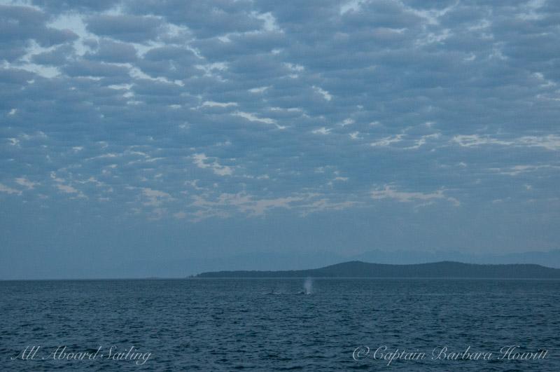 Transient orcas heading towards Cattle Pass under a mackerel sky