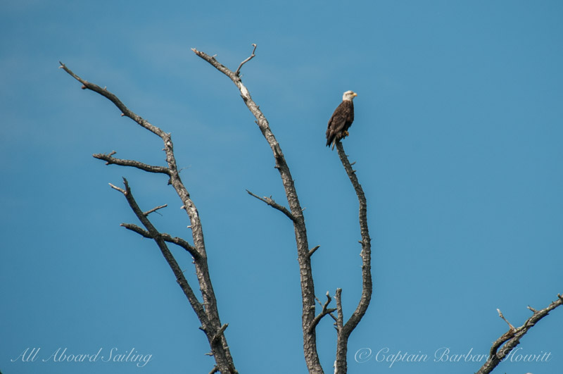 Tall dead spire with Bald Eagle