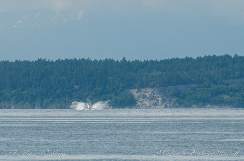 Distant humpback whale breaching. There were two humpbacks there near Pt Roberts.
