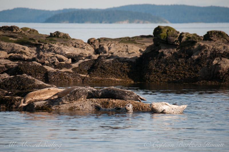 Harbor seals resting on Java Rocks. Flattop Island in the distance