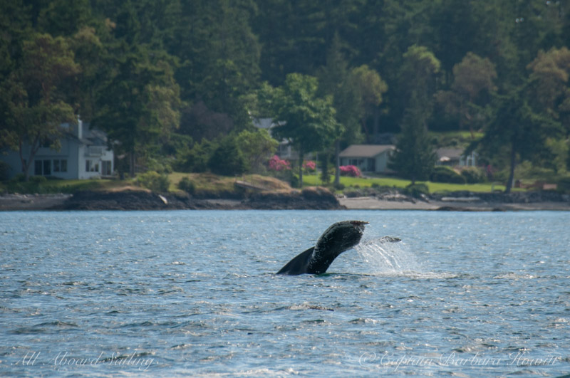 Humpback Whale MMY0009