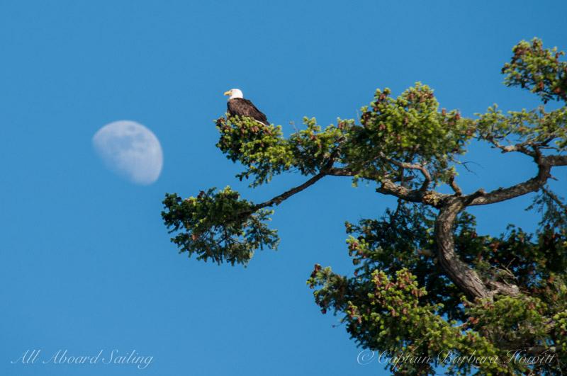 Bald eagle landing on moon