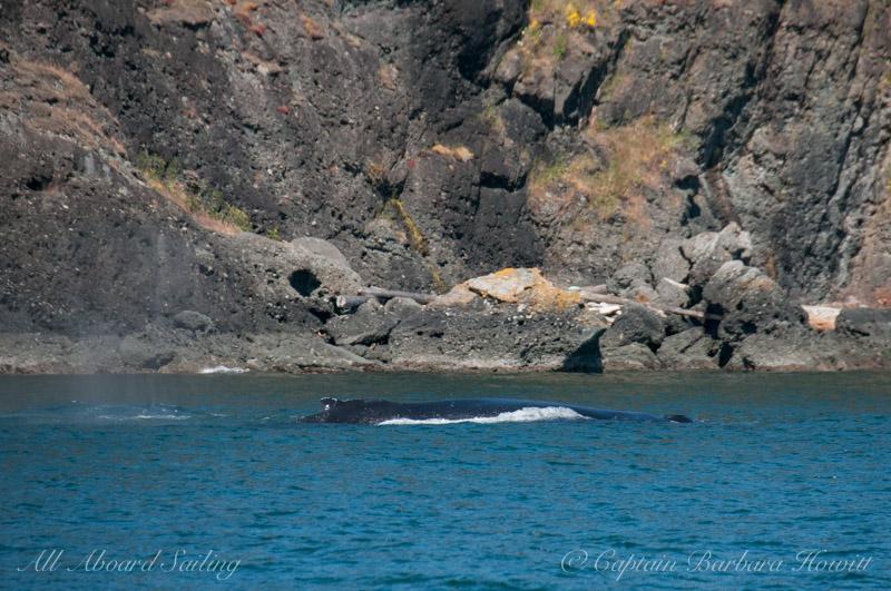 Humpback whale BCY0160