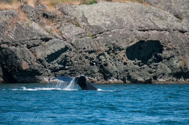 Humpback Whale BCX1057 aka Divot
