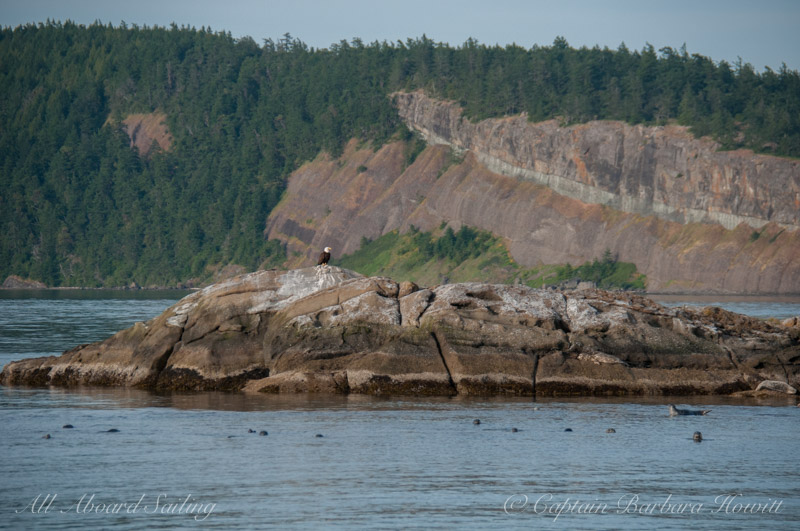 Harbor seals and bald eagle on White Rock - Waldron Island in the background