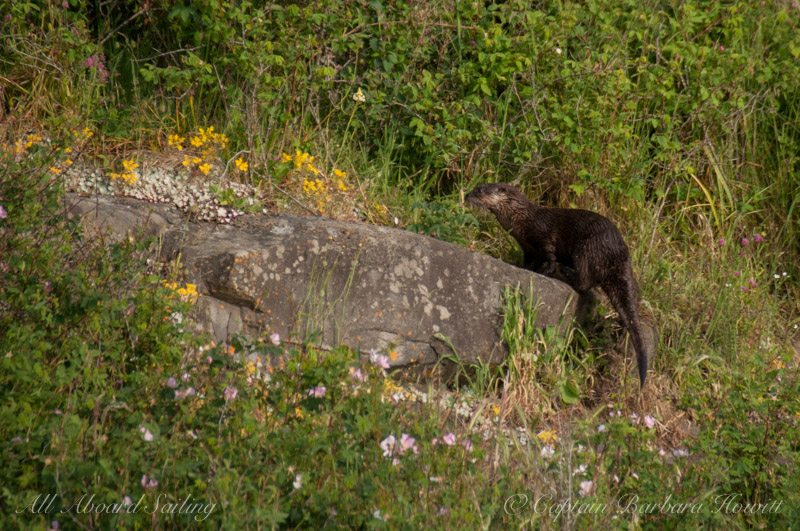 River otter on Flattop Island