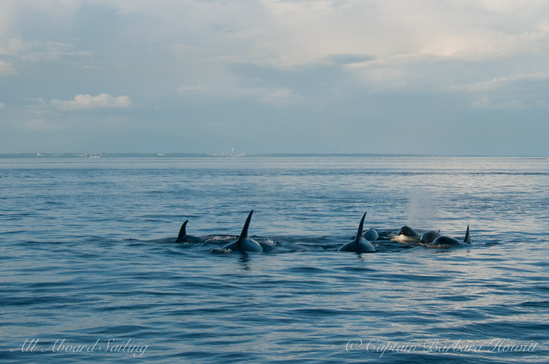 Fast swimming close knit transient orcas