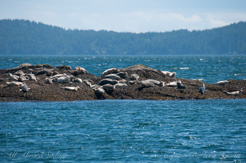 Harbor Seals and white caps