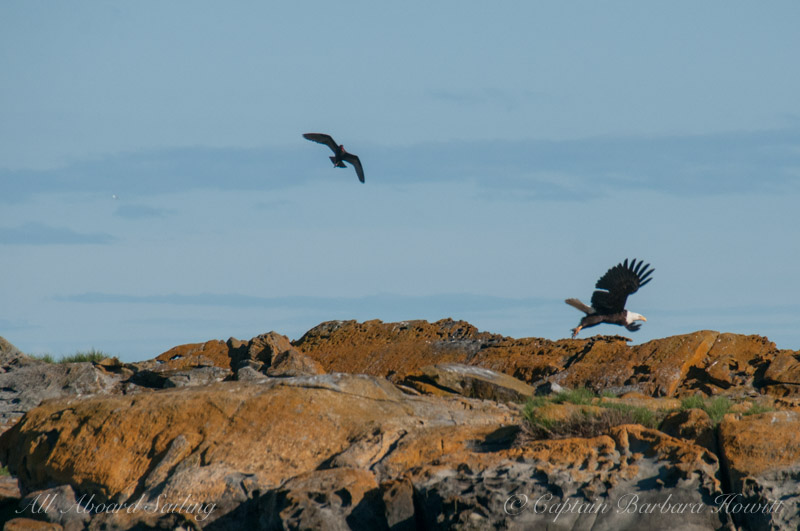 Oyster catcher chases Bald Eagle
