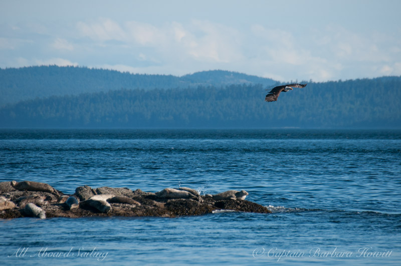Bald Eagle and Harbor Seals