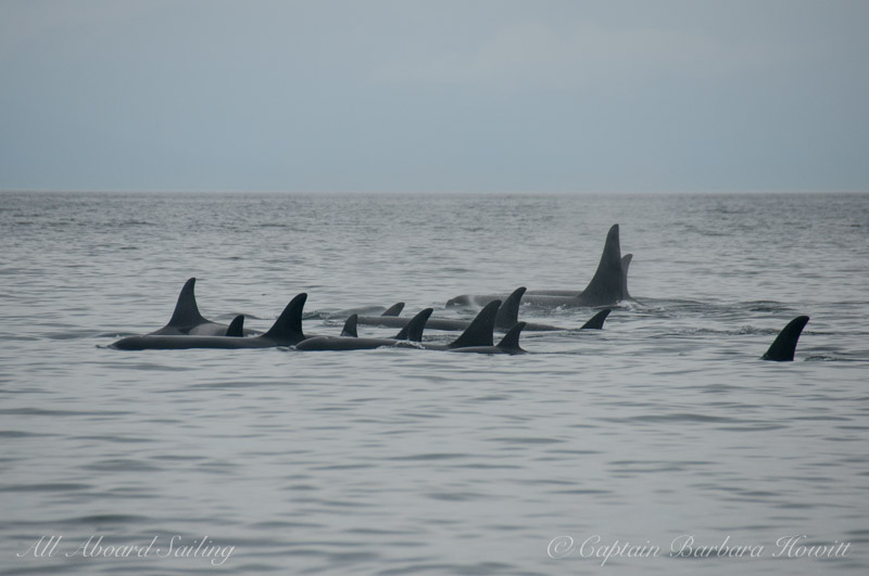 Tight group of orcas