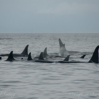 L pod rests while T65Bs and T36As hunt porpoise