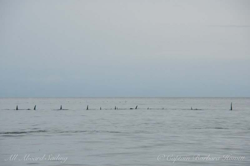 Resting Line of Orcas