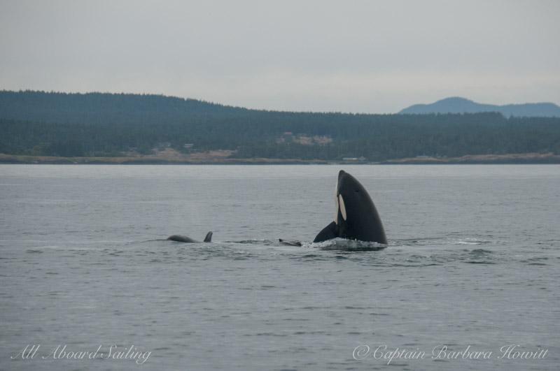 Orca spyhop next to Harbor Porpoise