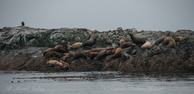 Steller sea lions and bald eagle