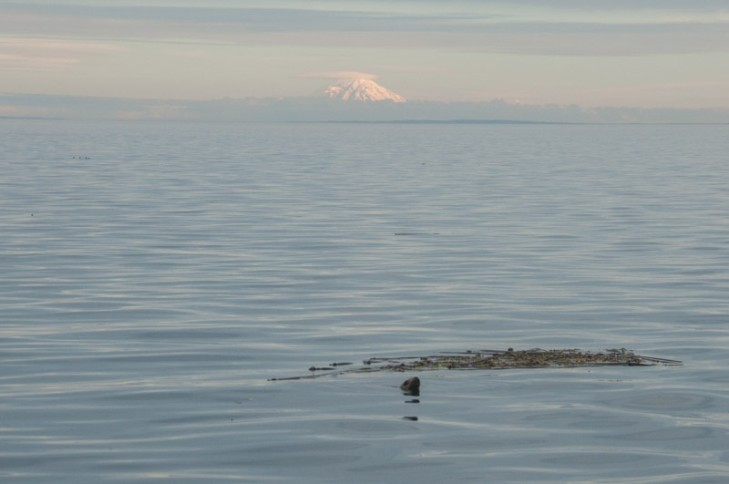 Sea Lion and Mt Rainer