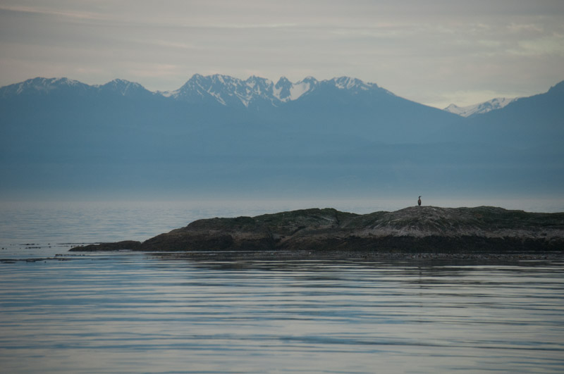 Cormorant with Olympic Mountains
