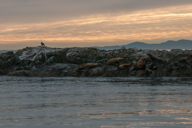 Eagle and Sea Lions at sunset