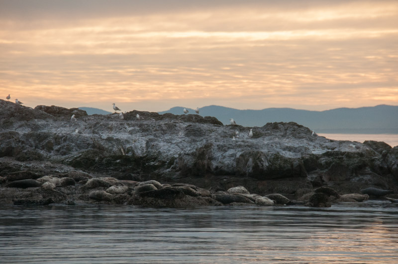 Harbor seals at sunset