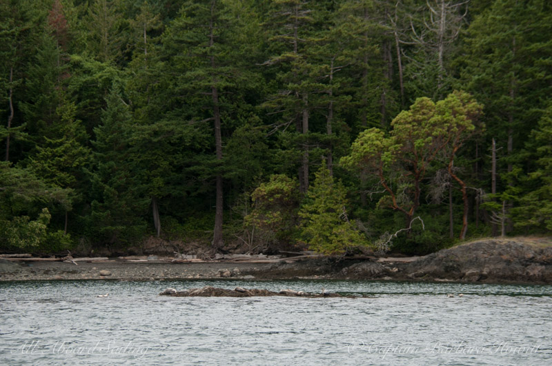 Harbor seals and the forested shoreline of Jones Island