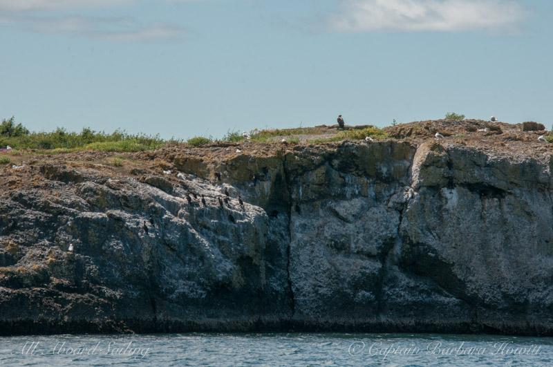 Juvenile Bald eagle and cormorant on Gull Rock