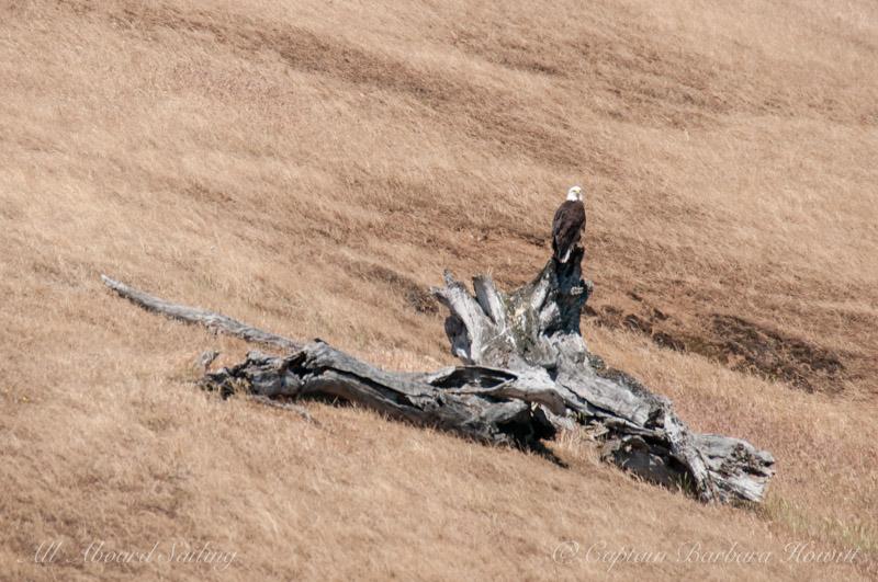 Bald eagle on dead tree stump